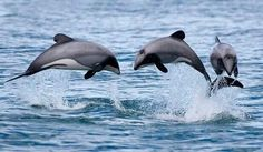 United States adds Maui and Hector's dolphins to endangered species act Hector Dolphin, Dolphin Art, Dolphin Family, Big Friends, Silhouette Painting, Animals Of The World, Endangered Species, Marine Life, Sea Creatures