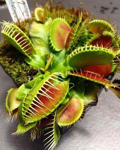 Carnivorous plant Dionaea muscipula Sawtooth In Vitro