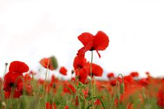 Red Poppies:: PLEASURE