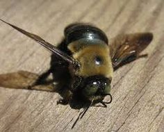carpenter bees sting  #carpenter #beesting