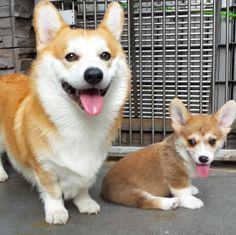 corgi-puppy-3