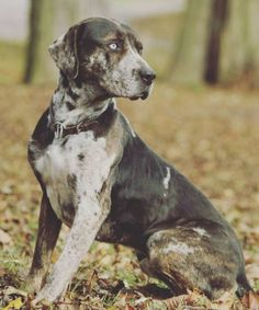10 Cool Facts About Catahoula Leopard Dogs - Terri's board - Katzen witzig Dog Breed Names, Dog Breeds, Hog Dog, Dog Cat, Catahoula Cur, American Dog, Leopard Dog, Hunting Dogs, Squirrel Hunting