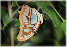 Les Papillons Exotiques