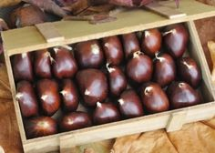 The quantities of export chestnuts, where manages Permanto limited is approximately 400 tons per year, with an upward trend and , comes from the mountainous region of Pierias, Pellas and Kilkis. All the quantities of chestnuts, exported in Italy.