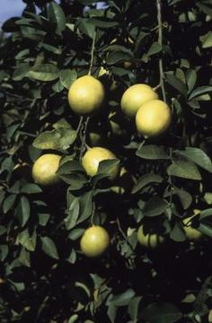 Remédios naturais para ácaro rajado em limoeiro