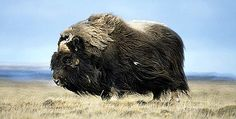The muskox is an Arctic mammal of the family Bovidae, noted for its thick coat and for the strong odor emitted by males, from which its name derives. This musky odor is used to attract females during mating season.