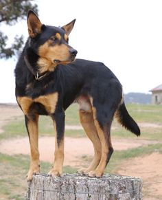Lovely Barru kelpie - I think this is the breed Lexie was...