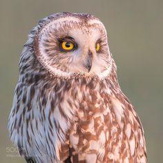 Short-eared owl portrait by ErikVeldkamp #animals #animal #pet #pets #animales #animallovers #photooftheday #amazing #picoftheday