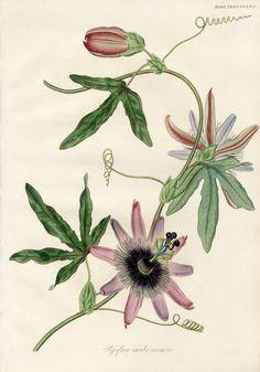 Fleur  Botanical Print