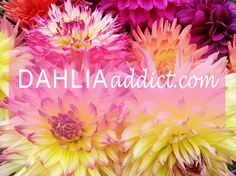 DAHLIAaddict.com - A dahlia variety locator that includes price and availability data on over 3,000 dahlia varieties from more than 50 suppliers.