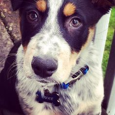 Cute puppy! Blue heeler, red heeler, border collie mix.
