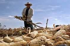 Algunos de los cultivos afectados por las contingencias climatológicas son: maíz, limón, mango, hortalizas, zarzamora y guayaba.
