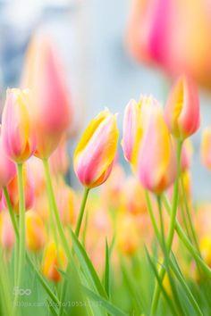 Tulip by hiro_