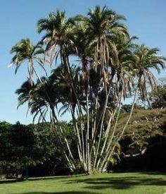 Phoenix Reclinata          Wild Date Palm           Wildedadelboom         3-6 m     (10)      SA no 22        Photo:G Nichols