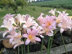Naked lilies in my garden!  Something beautiful to look at while picking tomatoes!  2015