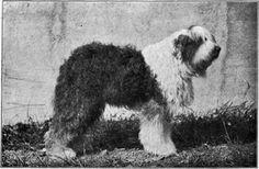 """L'origine du Bobtail n'est pas réellement défini. Il y a beaucoup de on-dit, d'hypothèse et aucune d'entre-elle ne permet réellement d'affirmer ou d'infirmer dans quelle condition s'est déroulé l'apparition du Bobtail, autrefois appelé vieux chien de berger anglais. Quoi qu'il en soit, le """"vieux chien de berger anglais"""" fait son apparition au XIXèm siècle et est actuellement plus connu sous le nom de Bobtail qui signifie littéralement queue courte."""