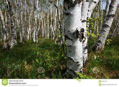 foret de bouleaux photos - Recherche Google