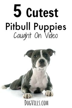 These 5 Cutest Pitbull Puppies Caught On Video will have you laughing so hard you cry. Everyone needs a fun video pick me up, & these really fit the bill! Unusual Dog Breeds, Tiny Dog Breeds, Dog Breeds Little, Japanese Dog Grooming, Japanese Dogs, Cute Pitbull Puppies, Cute Dogs And Puppies, Dog Training Bells, Best Dog Training