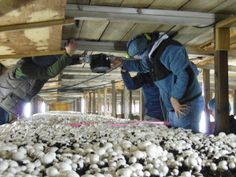At the farms, we were able to gather images of mushroom beds to be used for initial testing. There are a number of factors that needed to be thought through when collecting images of the mushroom bins. In particular, the angle of the camera relative to the mushroom bins was important to consider, as the position and rotation of the camera relative to the mushroom beds affects mushroom appearance in the images that we collect.
