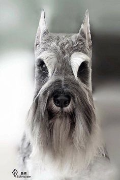 Ranked as one of the most popular dog breeds in the world, the Miniature Schnauzer is a cute little square faced furry coat. Schnauzer Mix, Schnauzers, Schnauzer Grooming, Standard Schnauzer, Giant Schnauzer, Dog Grooming Styles, Dog Grooming Salons, Dog Grooming Tips, Miniature Schnauzer Black