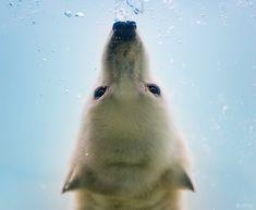 Aww-Worthy Photos of Polar Bears Performing Water Ballet - My Modern Metropolis Olga Gladysheva,