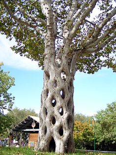 Circus Tree: Six individual sycamore trees were shaped, bent, and braided to form this - Trees don't reject tissue from other trees in the same family. You bend the tree to another tree when it is a sapling, scrape off the bark on both trees where they touch, add some damp sphagnum moss around them to keep everything slightly moist and bind them together. Then wait a few years- The trees will have grown together.