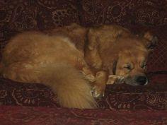Tibetan Mastiff Rescue, Inc. - Sam's Rescue Success Story - Click on Pic