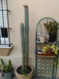 Cactus alto
