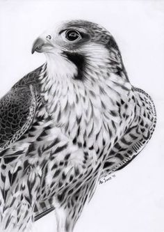 Peregrine Falcon by Abigail Jones