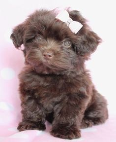 Designer Breed Puppy For Sale Yorkie Poo Puppies, Yorkie Poodle, Teacup Puppies, Poodle Mix, Cute Puppies, Cute Dogs, Dogs And Puppies, Poodles, Doggies