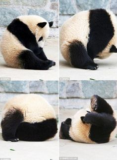 Panda Bebe, Cute Panda, Cute Funny Animals, Cute Baby Animals, Baby Pandas, Giant Pandas, Zoo Animals, Animals And Pets, Wild Animals