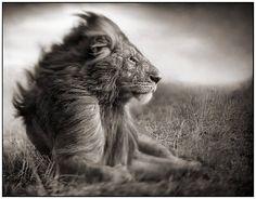 Nick Brandt Lion Before Storm