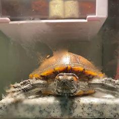 Red Eared Slider Tank, Red Eared Slider Turtle, Pet Frogs, Pet Snails, Pet Turtle, Baby Turtles, Cute Funny Animals, Cute Baby Animals, Turtle Tank Filters