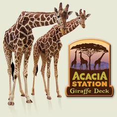 Acacia Station Giraffe Deck at the Asheboro Zoo. You can actually FEED the giraffes!