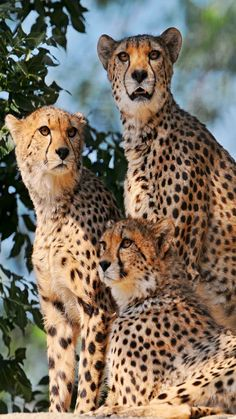 Cheetah family - Wildlife - Big Cats