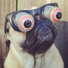I love this. #pug #funny