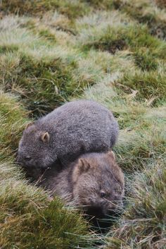 Common Wombat - Mother and Joey What Is A Wombat, Beautiful Creatures, Animals Beautiful, Common Wombat, Wild Creatures, Australian Animals, Rare Animals, Patterns In Nature, Mammals