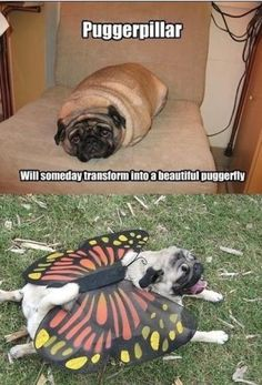 Haha, oh how I love pugs. They're just too stinking cute!