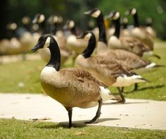 Migratory birds, and their droppings, a growing concern