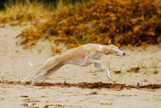 Hound Dogs Running Magyar Agar, Afghan Hound, Lurcher, Irish Wolfhound, Dog Runs, Italian Greyhound, Hound Dog, Whippets, Dogs