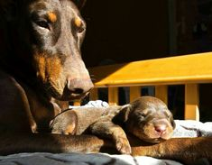 #Doberman with 13 day old puppy