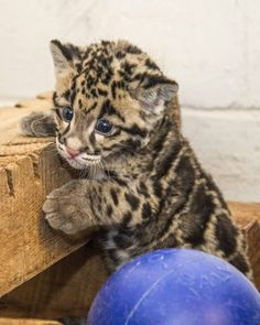 At the Smithsonian's National Zoo in Washington, D., a clouded leopard cub at SCBI Front Royal is pictured after transitioning from bottle feedings to solid food. Pretty Cats, Beautiful Cats, Animals Beautiful, Cute Cats, Animal Gato, Mundo Animal, My Animal, Leopard Cub, Clouded Leopard