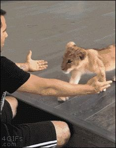 「lion cub hug gif」の画像検索結果