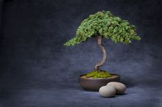 Bonsai Tree And Stones Background. A bonsai tree in a pot with two stones on a p , Canvas Background, Photoshop Effects, Lawn, Planter Pots, Royalty Free Stock Photos, Stones, Garden, Flowers, Children Clothes