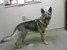 MOCHI-ID#A698346    My name is MOCHI.    I am a neutered male, black and tan German Shepherd Dog.    The shelter staff think I am about 3 years old.    I have been at the shelter since Feb 08, 2013.