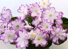 KZ-Maja Pleseckaja~African Violet~Plant~Russian Variety, New | eBay
