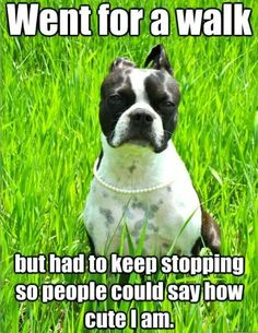 How cute am I? Funny Dog Memes, Funny Dogs, Funny Animals, Cute Animals, Animal Memes, Animal Funnies, Animals Dog, Animal Quotes, Funny Quotes