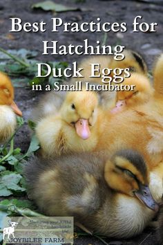 Hatching duck eggs is just as easy as as hatching out baby chicks! I hope these tips will help answer any questions you have about how to hatch duck eggs, and that soon you'll have your own adorable fluff-balls peeping and cheeping away! Hatching Duck Eggs, Hatching Chickens, Backyard Ducks, Chickens Backyard, Backyard Poultry, Keeping Chickens, Raising Chickens, Keeping Ducks, Duck Farming