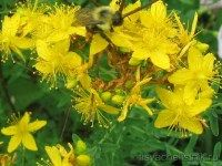How to Grow St John's Wort. John's Wort (Hypericum perforatum) is both a beautiful perennial herb with lovely yellow flowers and one that has come to prominence recently as a medicinally useful herb in the treatment of depression. Medicinal Herbs, Begonia, Yellow Flowers, Perennials, Herbalism, Nature, Plants, St John's, Healing