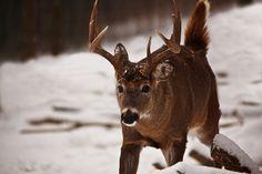 http://www.forestwander.com/wp-content/original/2011_01/whitetail-buck-walking-tail-up.jpg